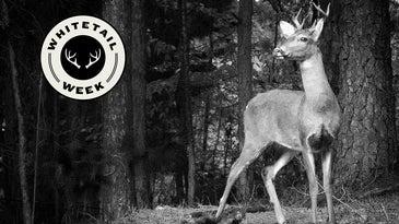 5-Point Whitetail Buck