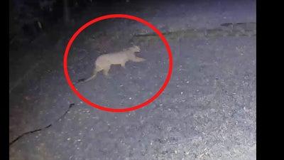 Video: Rare Mountain Lion Sighting in Iowa