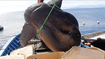 giant fish hoisted aboard a boat
