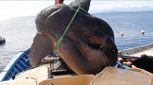 Video: Absolutely Gigantic 2-Ton Sunfish Netted Off Africa's Northern Coast