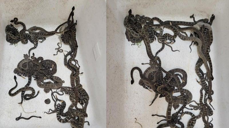 Nearly 100 Rattlesnakes Found Beneath California Home
