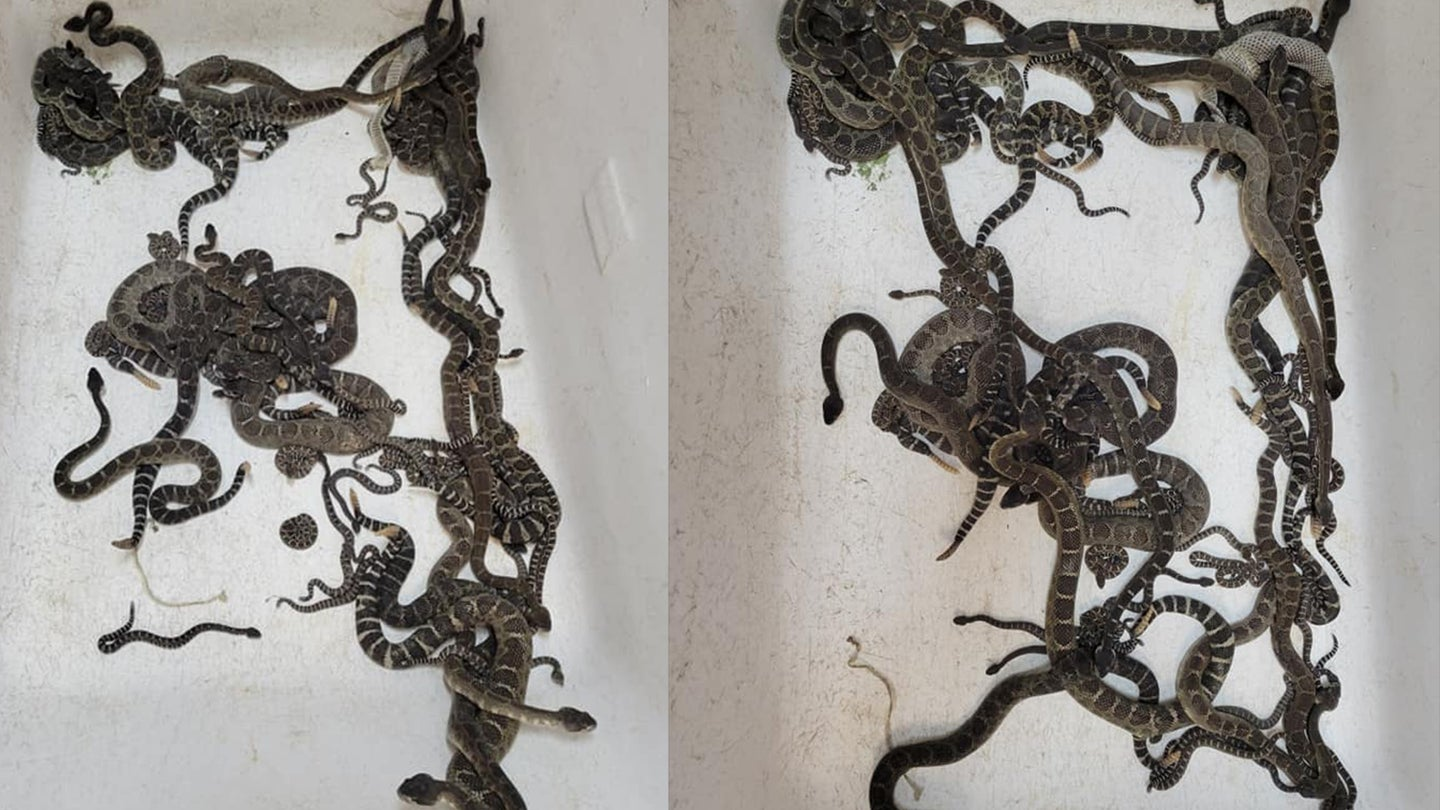 dozens of rattlesnakes in white container